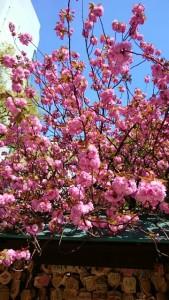 お初天神の桜